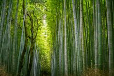 Walking Through a Bamboo Forest stock photo