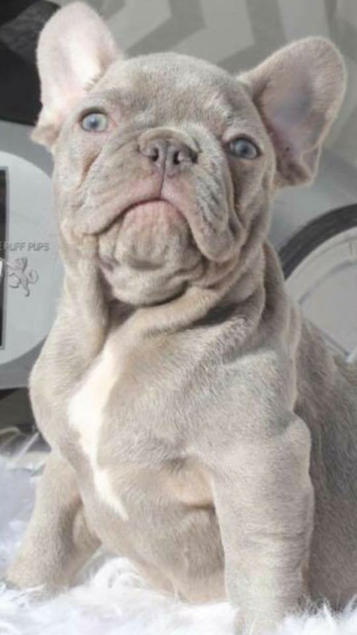Lilac French bulldog Tommy ONeal Pinterest French