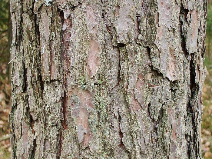Edible Tree Bark The Ultimate Survival Food Off The Grid News Survival Food Tree Bark Survival