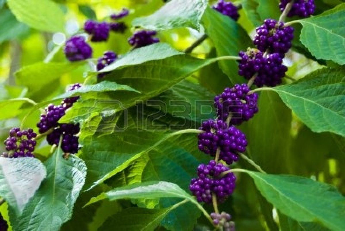 Stock Photo Landscaping Plants Berry Plants Plants