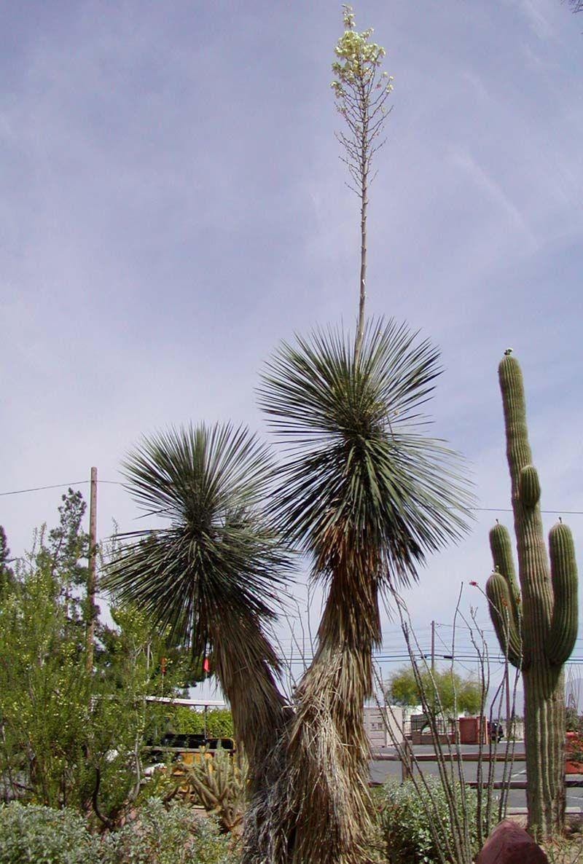 Yucca elata Wikipedia Yucca plant, Plants, Growing