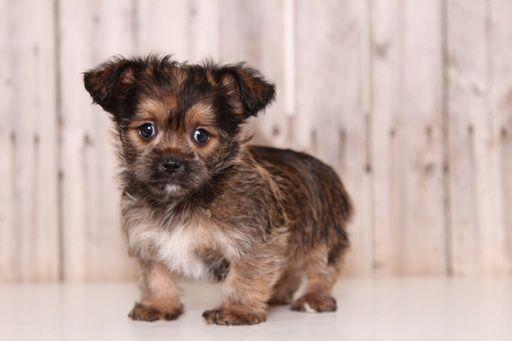 Shorkie Tzu Puppy For Sale In Mount Vernon Oh Adn 53898 On Puppyfinder Com Gender Male Age 8 Weeks Old Puppies For Sale Puppies Shorkie Tzu