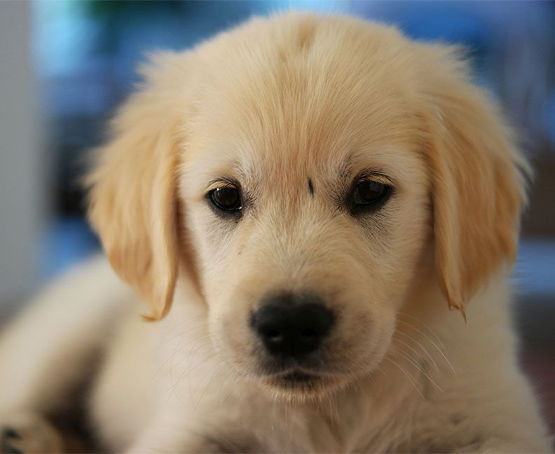 Golden Retriever Noble Loyal Companions Golden Retriever Dogs