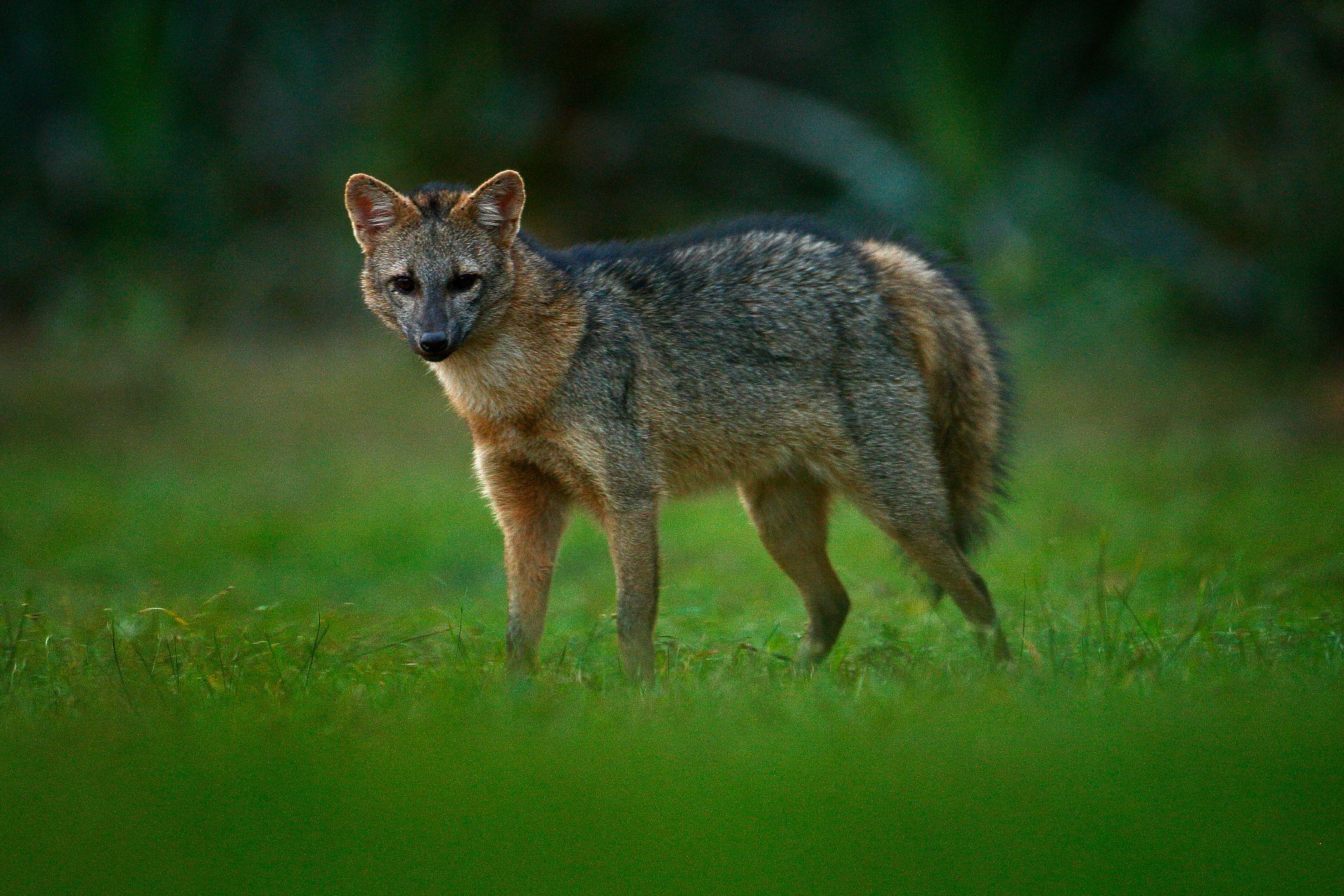 Crab Eating Fox Pet fox, Fox breeds, Fox habitat
