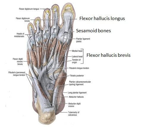 Anatomy of bottom foot