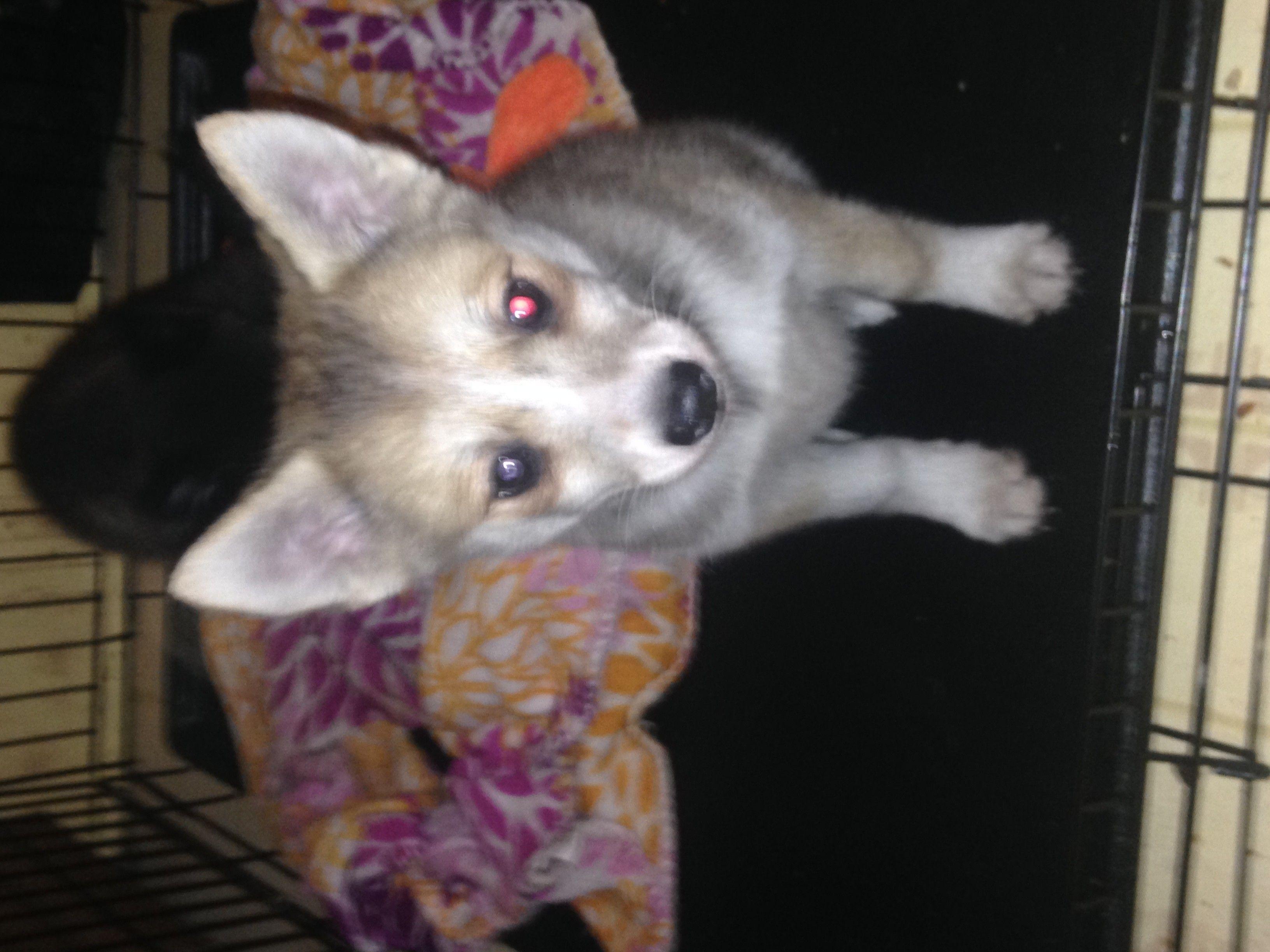 Pomsky Puppies For Sale   Binghamton, NY   Apartment