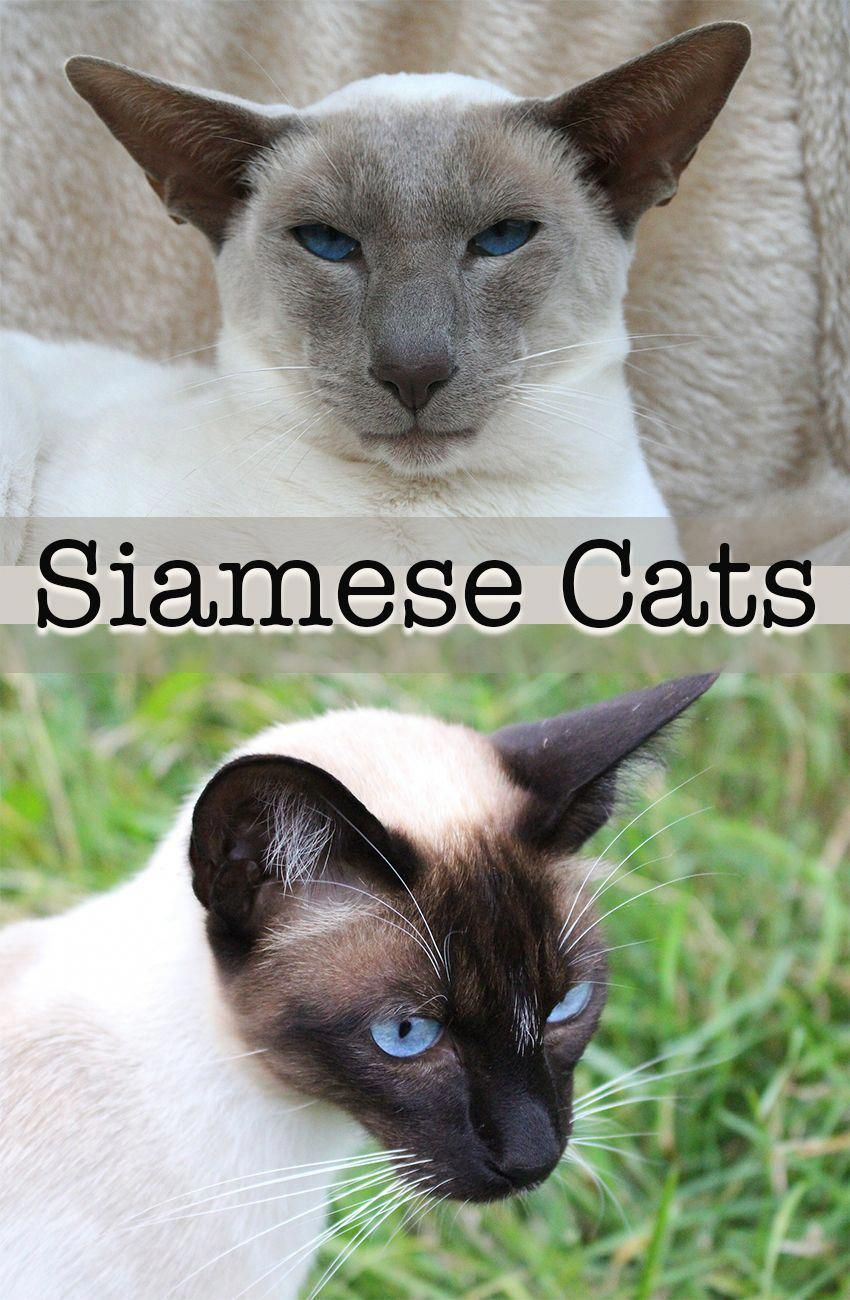 A Complete Guide To The Amazing And Beautiful Siamese Cat Catsguide Catsdiytoy Rarecatsbreeds Siamese Cats Blue Point Cat Site Siamese Kittens