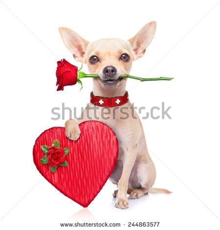 dating chihuahua