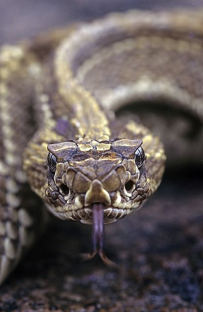 Crotalus Durissus Viperidae Is A Neotropical Species Of