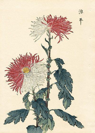 Keika Hasegawa Chrysanthemum Wood Block Prints 1st Edition 1893 Japanese Woodblock Printing Japanese Painting Japanese Art