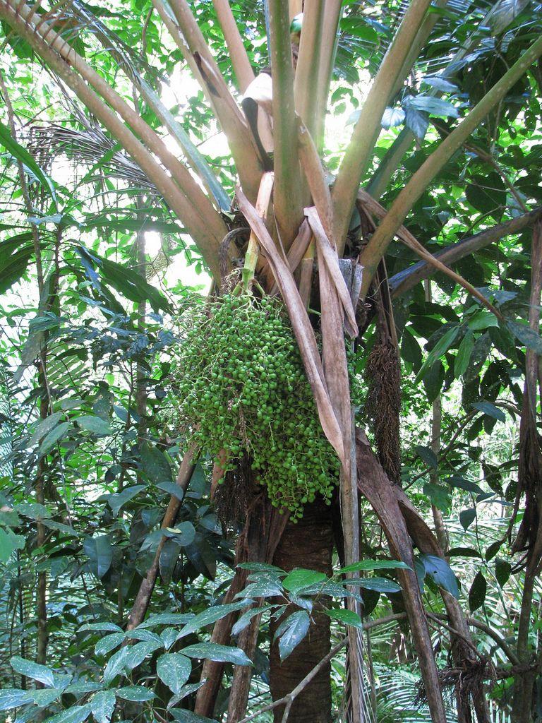 Oraniopsis appendiculata   Plants