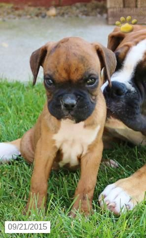 Boxer Puppy For Sale In Pennsylvania Puppies For Sale Boxer Puppies