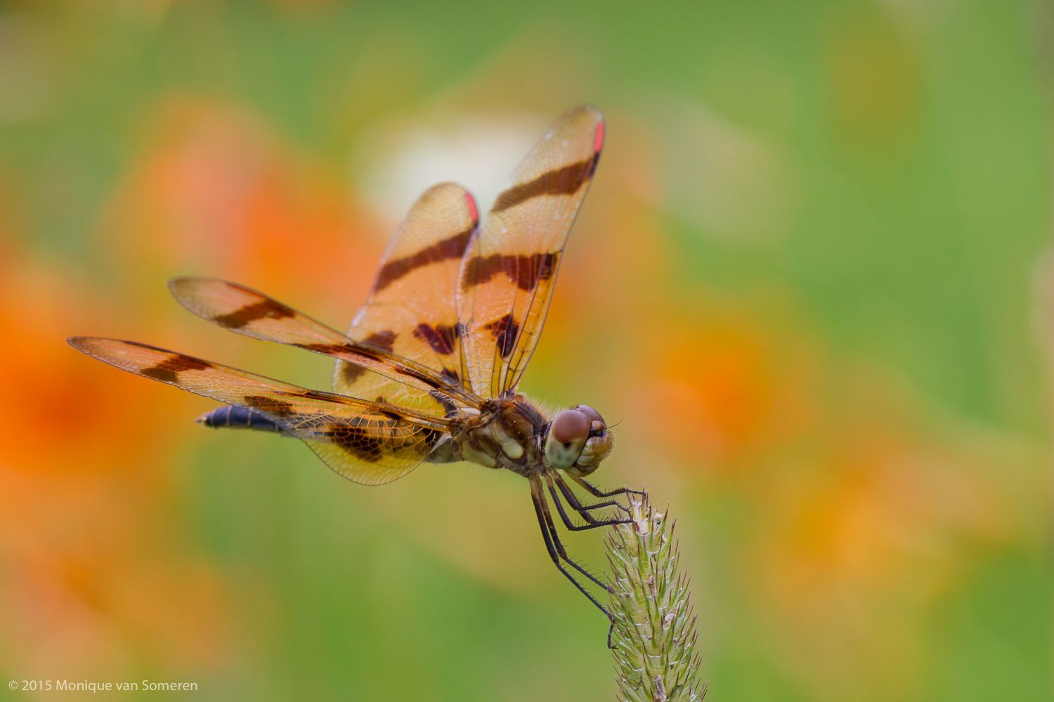 Halloween Pennant - Celithemis eponina   © 2015 Monique van Someren * all rights reserved * please do not use without permission