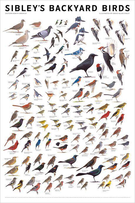 Identification Charts Bird Poster Pet Birds Birds