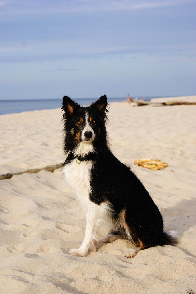 Border Collie A Problem Dog Border Collie Purebred Dogs Dogs