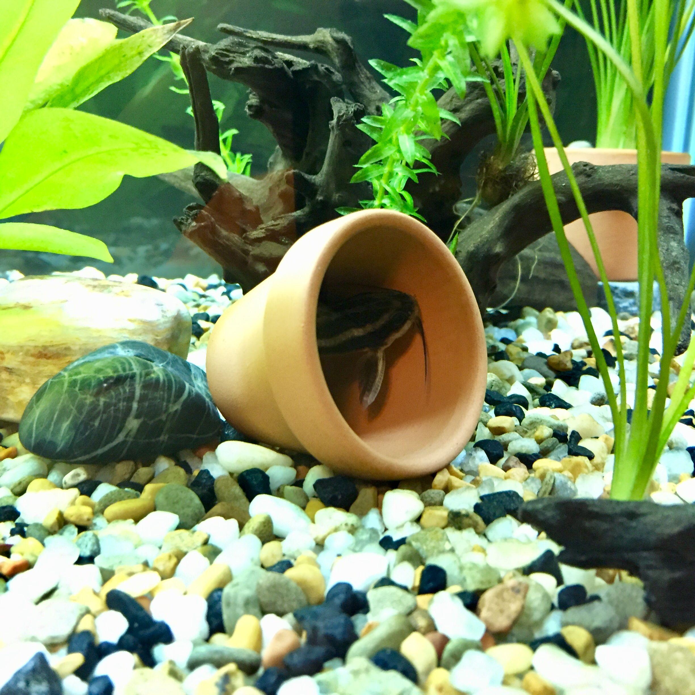 Striped Raphael Catfish Hiding In A Pot Pot Planter Pots Planters