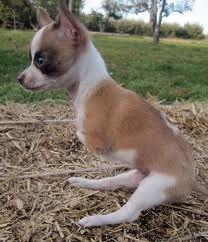 Awwww! Joey the two legged chihuahua. So cute! :)