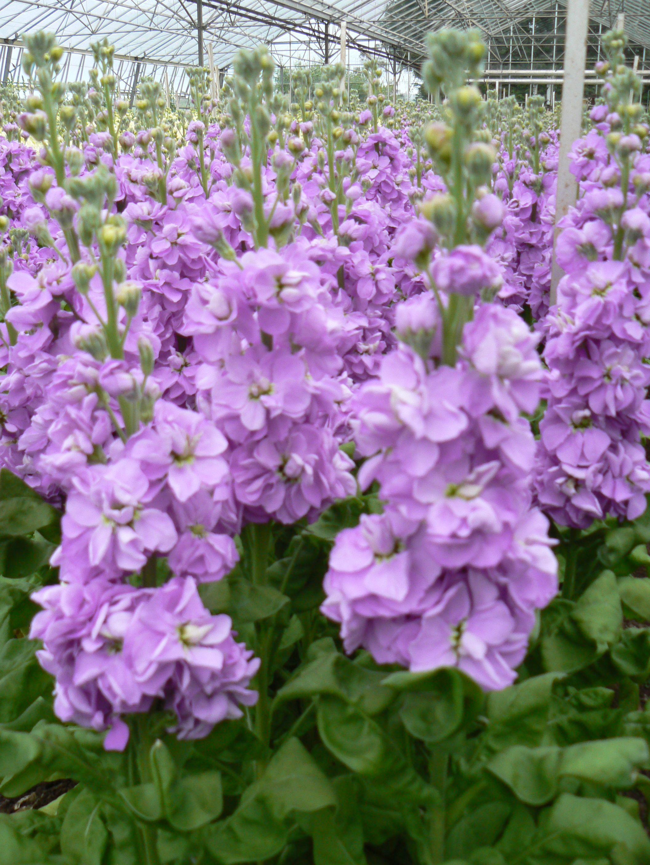 Stock Aida Lavender Matthiola Incana 12 24 Tall 50 Double