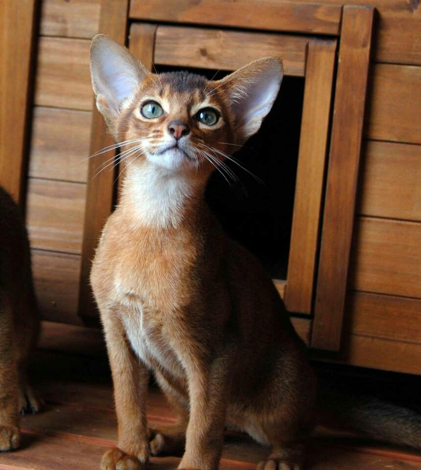 Pin by Pet Heaven on Cats | Pinterest | Abyssinian, Cat and Animal