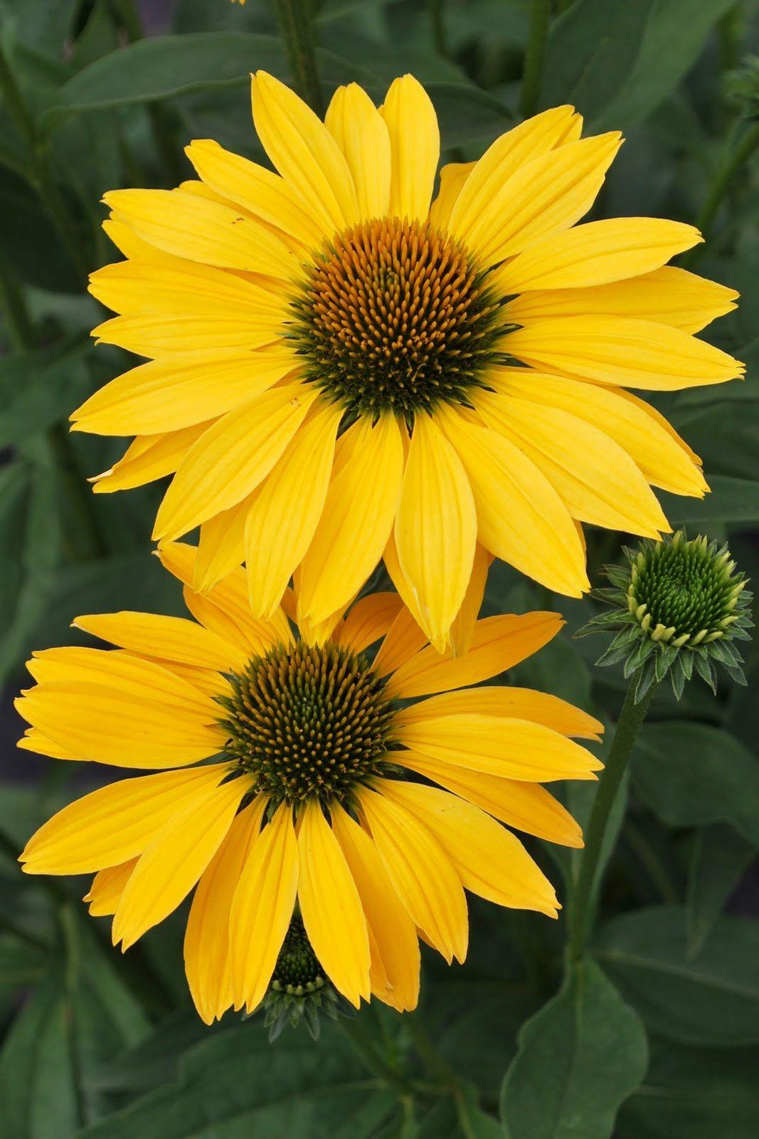 Coneflower Now Cheesier Very Pretty Yellow Flores1 Pinterest