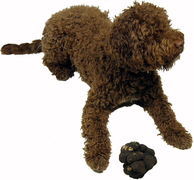 Lagotto Truffle Dogs: Truffle-Hunting Dog Finds Jackpot In Unexpected Place