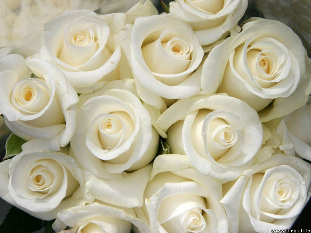 White Rose Flower Wallpapers 4k Ultra Hd