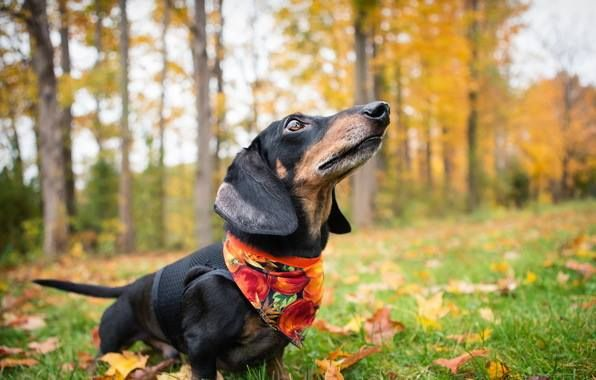 I Smell Fall In The Air Dachshund Lovers Of Birmingham
