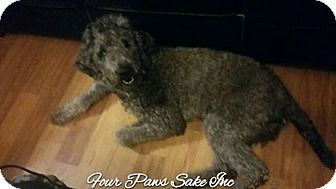 My Silver Standard Poodle Chantel Week Old 6 Months And 2 Yrs Http