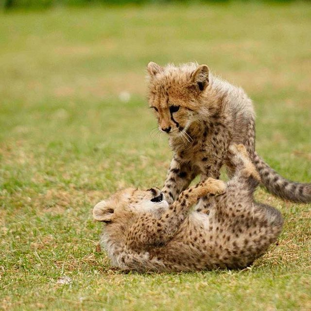 #Cheetah cubs often play by stalking, chasing and pouncing, wrestling and playing tug-of-war. This helps to develop their hunting skills. #cheetahfacts #cheetahcentre #endangeredspeciescentre #hoedspruit #wildcats #bigcats #cheetahcubs