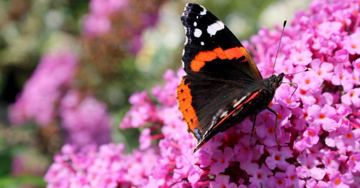 Een Eigen Vlindertuin 15 Planten En Struiken Die Vlinders Aantrekken In 2020 Planten Struiken Vlindertuin
