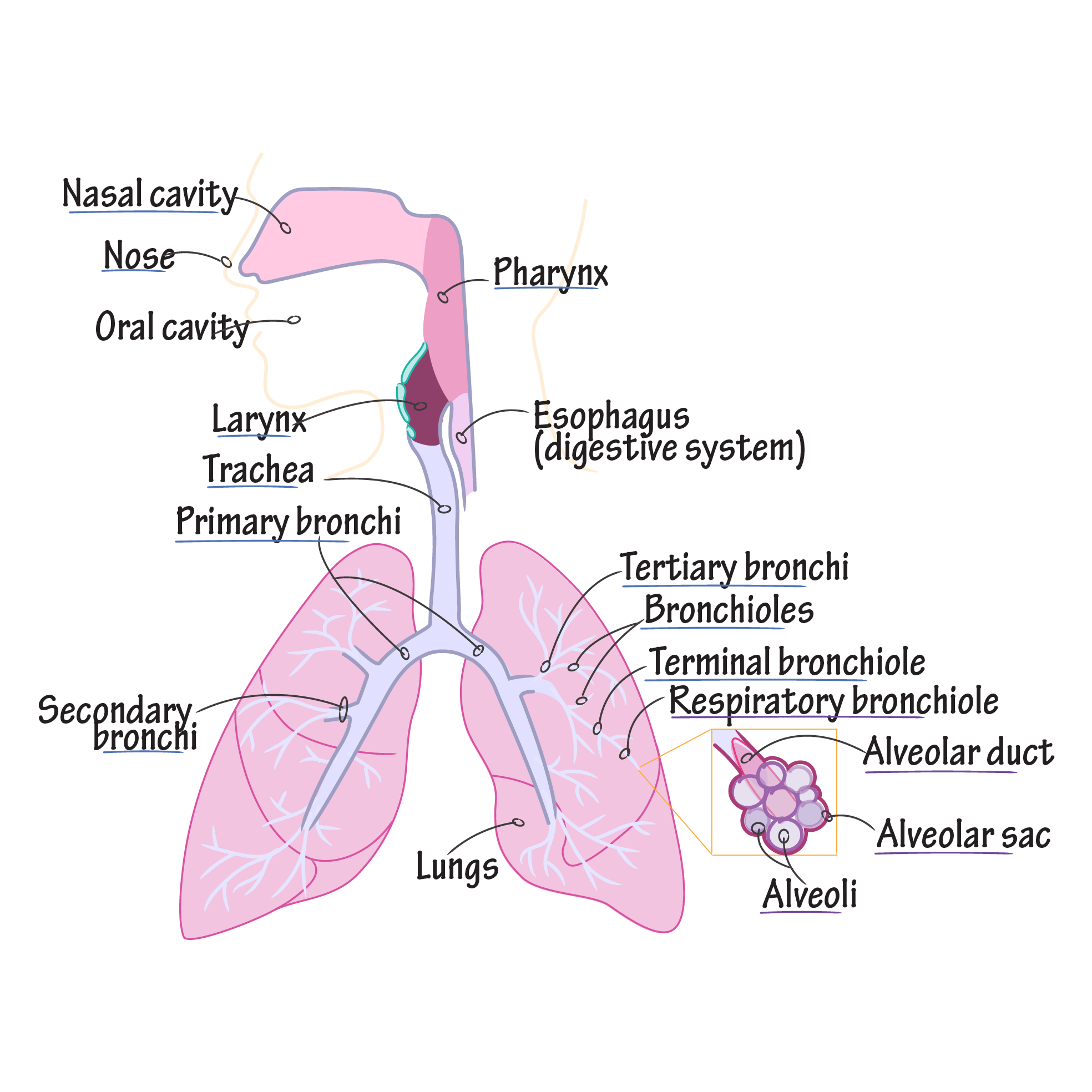 Respiratory System Draw It To Know It Respiratory System Anatomy Human Anatomy And Physiology Respiratory System
