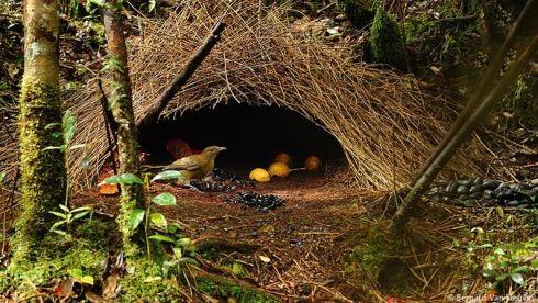 nid oiseau indon sien les oiseaux jardiniers pinterest nid oiseau nids et oiseaux. Black Bedroom Furniture Sets. Home Design Ideas