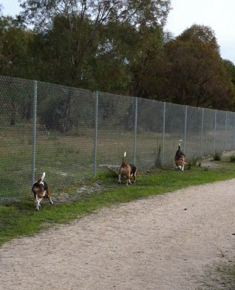 Whiteman park wa Beagle pictures, Dogs up for adoption