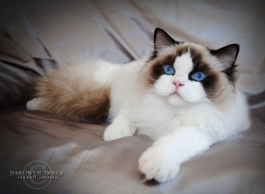 Darlin Lil Dolls Ragdoll Cat Ragdoll Cat Cat Breeds Ragdoll