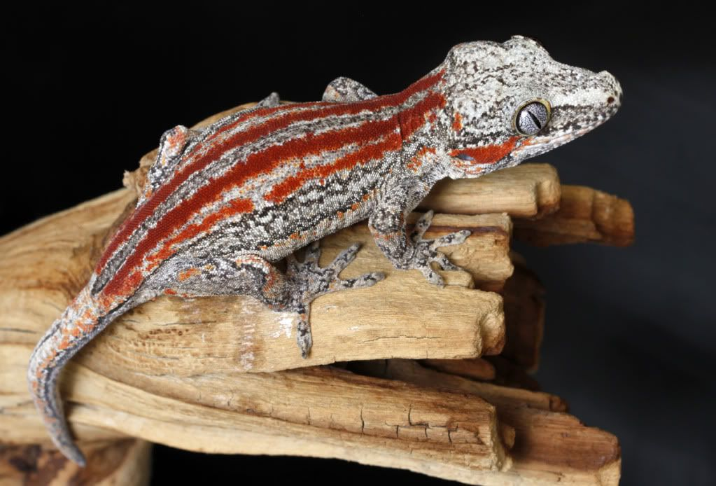 The New Caledonian Giant Gecko or Leach's Giant Gecko