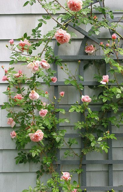 Pink climbing roses content in a cottage gardens and plants pink climbing roses content in a cottage mightylinksfo