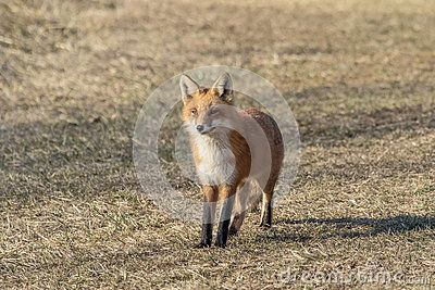 Red Fox Standing In The Field Red Fox Fox Dutchess County