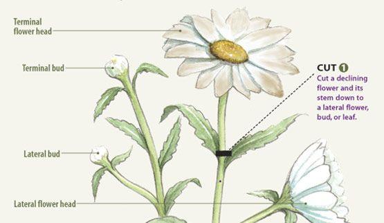 Off With Their Heads Deadheading Perennials Finegardening Deadheading Flowers Shasta Daisies Fine Gardening