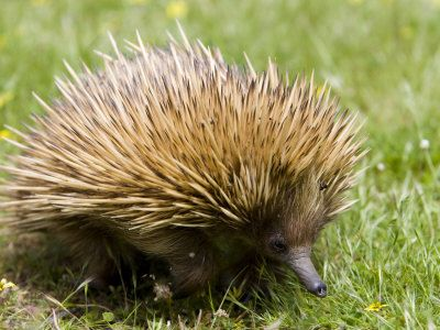 Echidna 3 Echidna Fun Facts About Animals Animal Facts