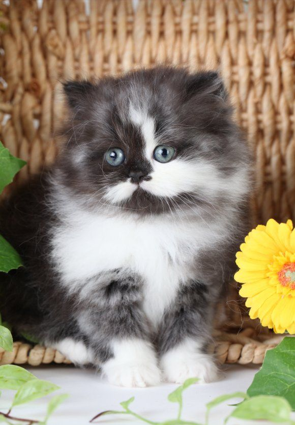 Black Smoke White Persian Kittens Persian Kittens Persian Kittens For Sale Teacup Persian Kittens Teacup Kittens For Sale Toy Persian Kittens Toy Kitten White Persian Kittens Pretty Cats Kittens Cutest