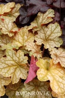 """Ginger Ale Coral Bells - Monrovia - Ginger Ale Coral Bells   18"""" high, full shade colorful leaves"""