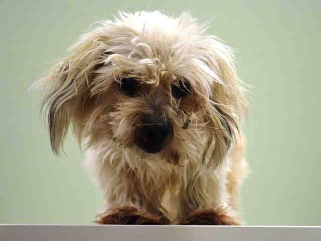 Manhattan Center DRAGONFLY - A1023234 FEMALE, TAN / WHITE, MALTESE, 6 yrs STRAY - ONHOLDHERE, HOLD FOR ID Reason STRAY Intake condition EXAM REQ Intake Date 12/15/2014, From NY 10453, DueOut Date 12/18/2014, https://www.facebook.com/Urgentdeathrowdogs/photos/pb.152876678058553.-2207520000.1418680988./922326847780195/?type=3&theater