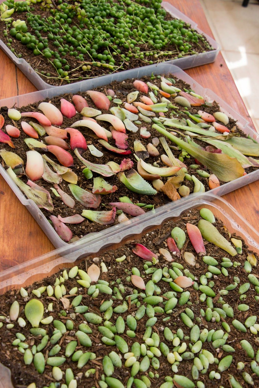 Succulent Propagation From Leaves And Pups A Healthy
