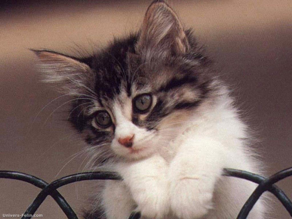 chatons trop mignons chat mignon 515x386 chat mignon