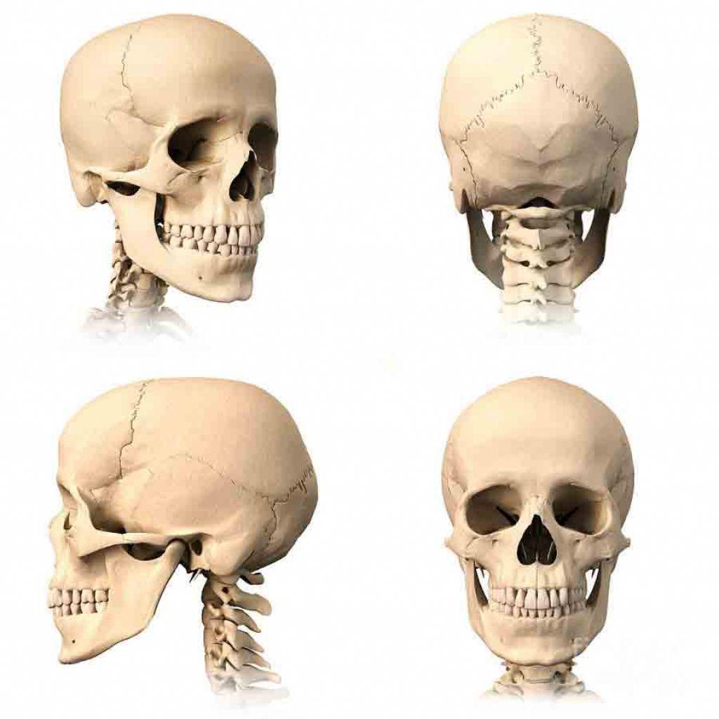 Image result for skull anatomy | Giant Skull | Pinterest