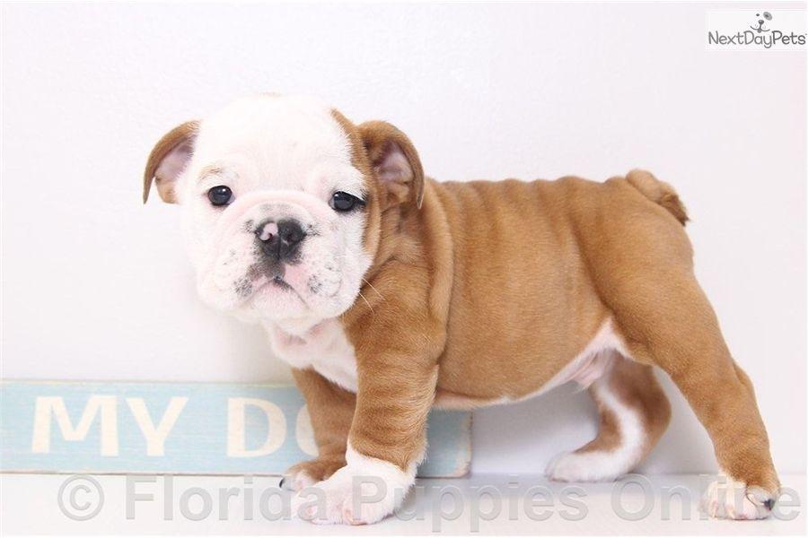 English Bulldog Puppy For Sale Near Ft Myers Sw Florida Florida