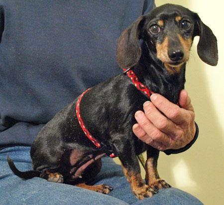 Adopt Sasha on Dachshund dog, Dachshund, Dogs