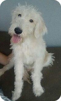 Chandler Az Golden Retriever Standard Poodle Mix Meet Fetch A