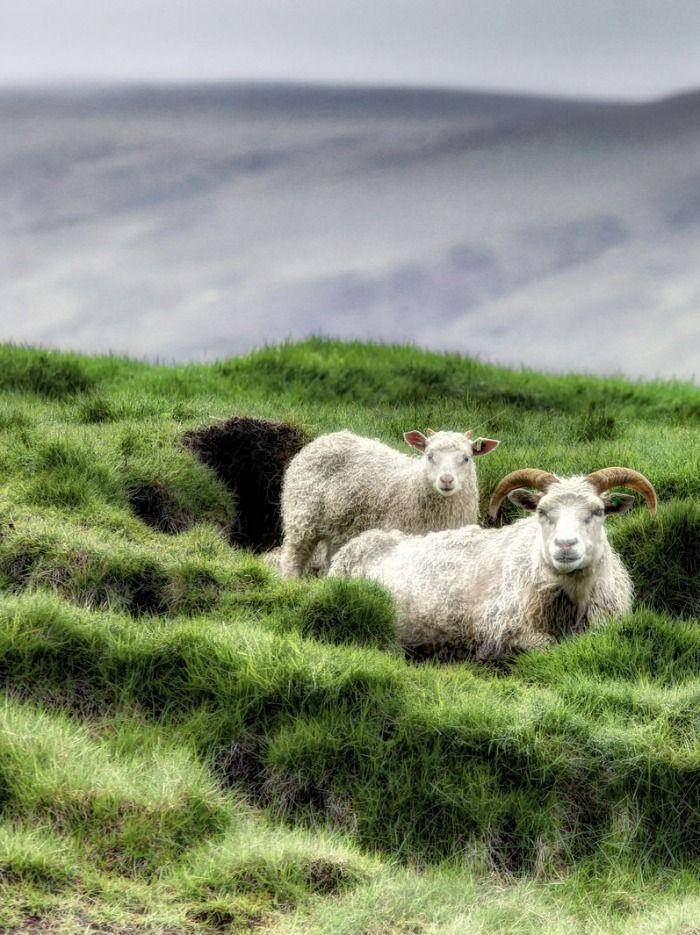Cute sheep - YouTube