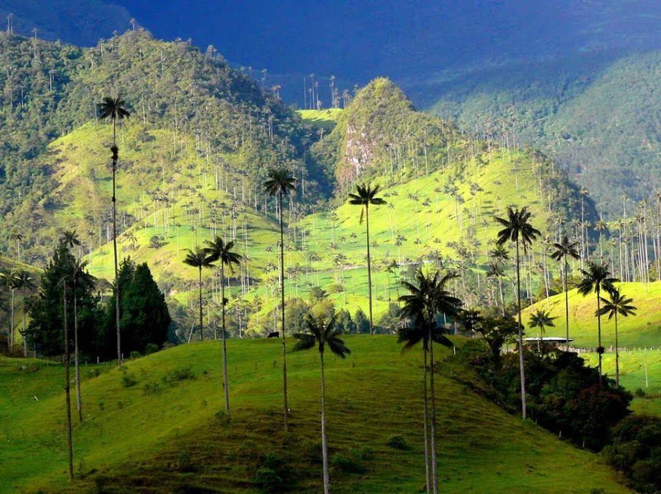 Palmas de Cera (Árbol nacional de Colombia). Valle del Cocora, Quindio.